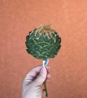 cactus-redondo-cactus06