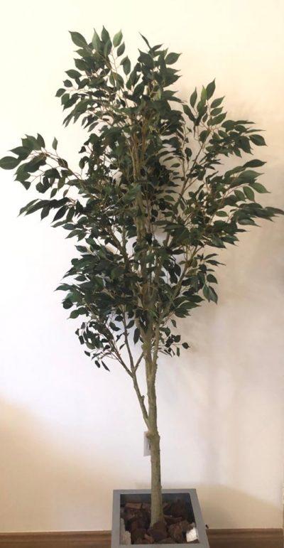 arbol-ficus-1-68m