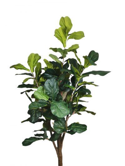Ficus Lirata 180cm